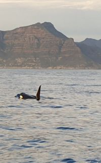 orca in hout bay